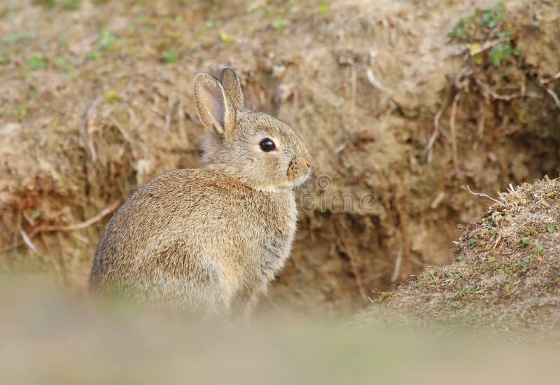 Bambino selvaggio adorabile del coniglio dalla tana immagini stock