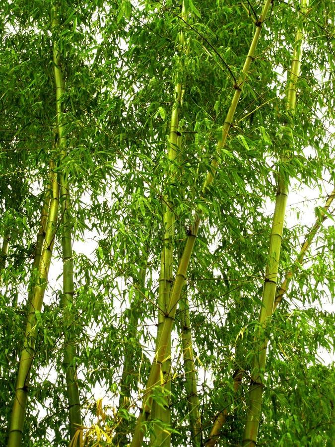 Bamboe 01 royalty-vrije stock afbeelding