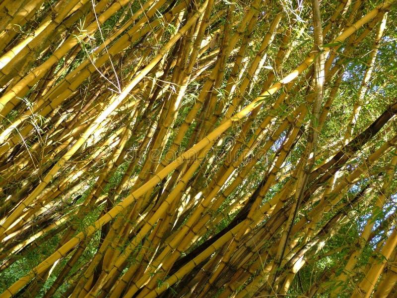 Bamboe dat vrij groeien Flexibele installaties bomen royalty-vrije stock afbeelding
