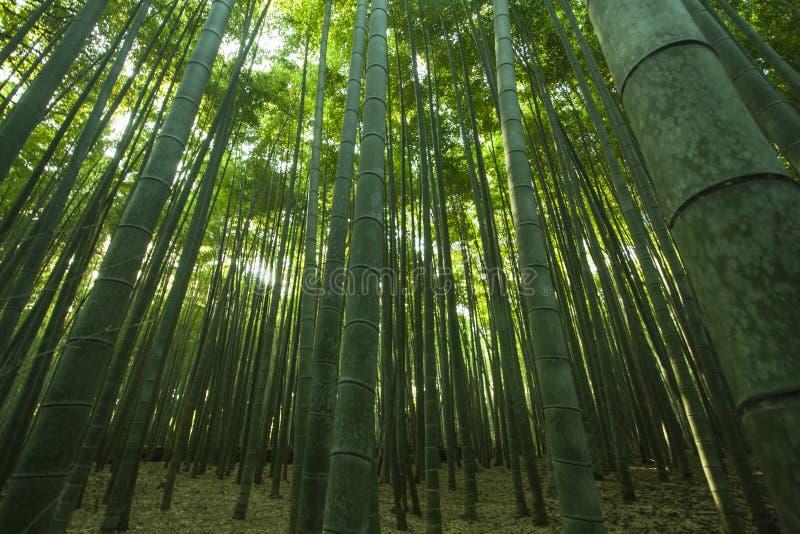 Bamboe Forrest royalty-vrije stock foto's