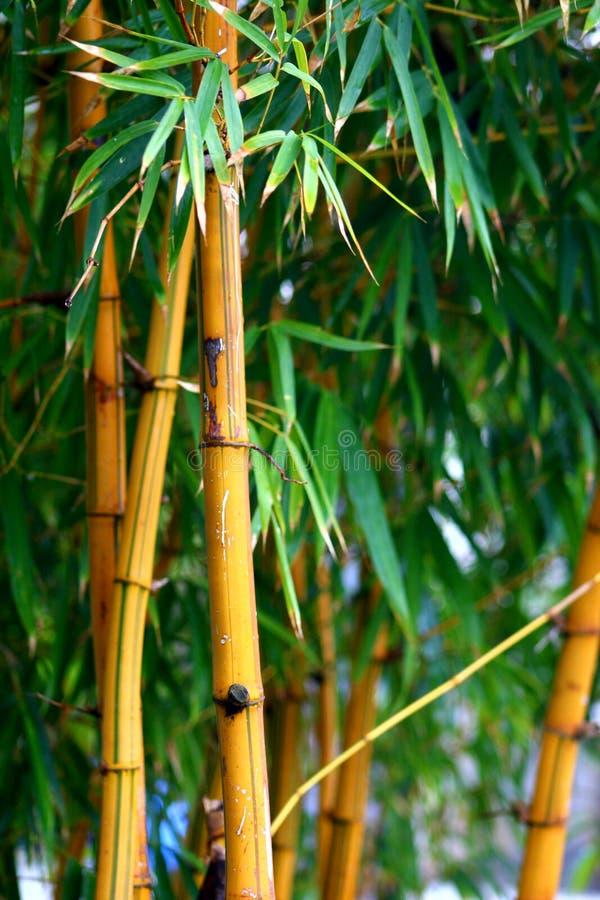 Bamboe gele vers royalty-vrije stock foto