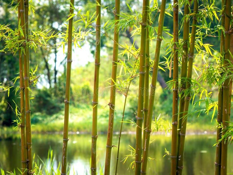Bamboe met een natuurlijke achtergrond 02 stock fotografie