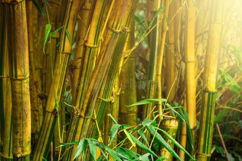 Bamboebomen royalty-vrije stock foto