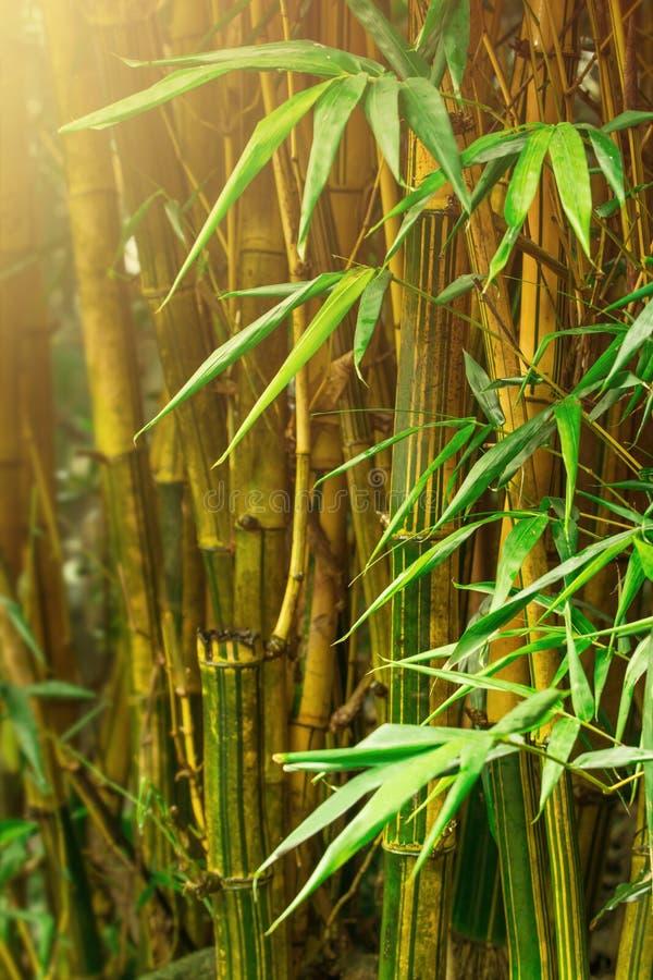 Bamboebomen stock afbeelding