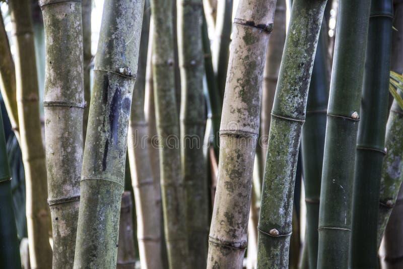 Bamboebomen in het bos stock afbeeldingen