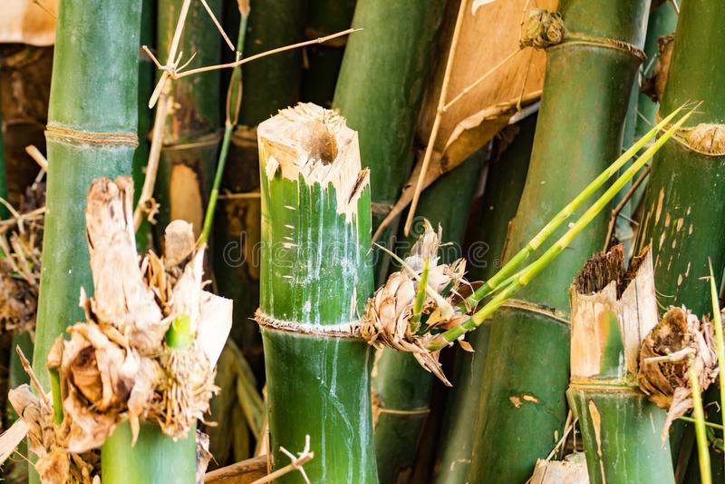 Bamboeboom stock afbeelding