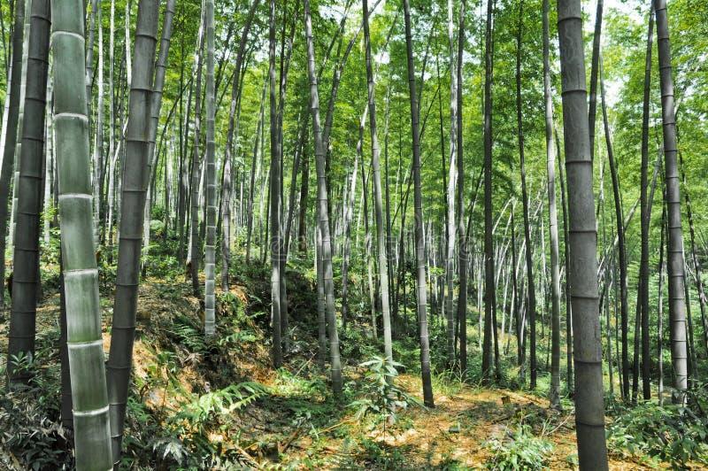 Bamboebos royalty-vrije stock foto