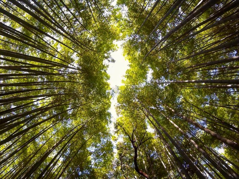Bamboebos, Arashiyama, Japan royalty-vrije stock foto's