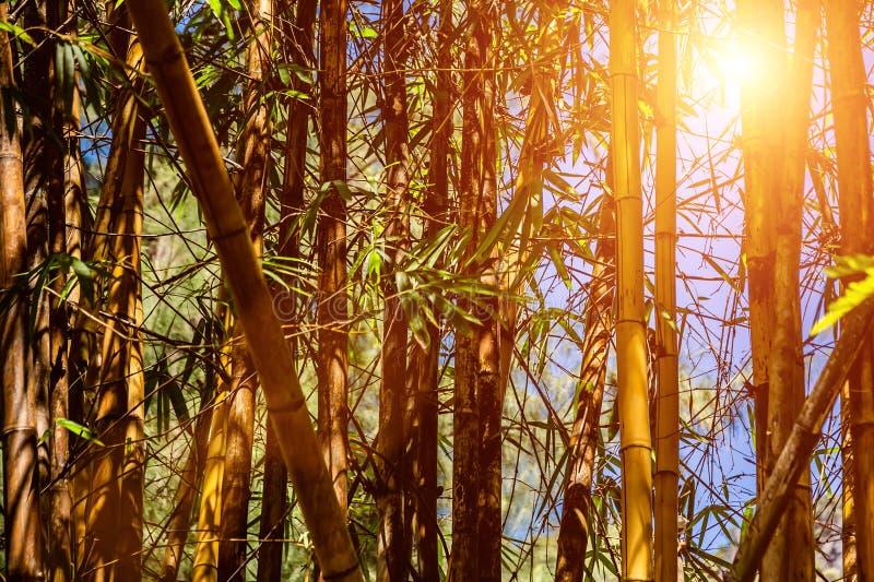 Bamboebos tegen de blauwe hemel Textuur van aard Het licht van de zon door de boomstammen en de bladeren stock fotografie