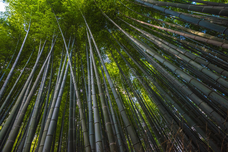 Bamboebosje in Arashiyama, Kyoto, Japan stock foto