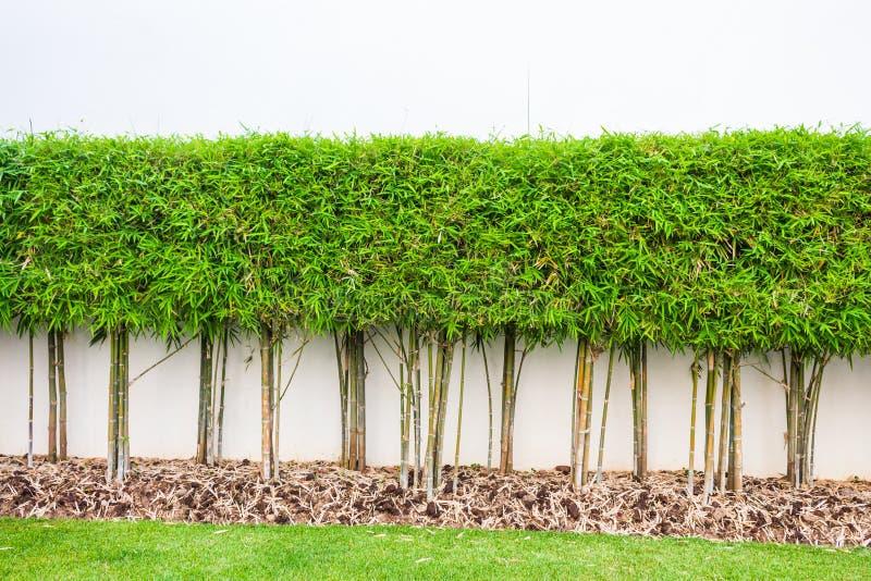 Bamboeinstallatie en de groene achtergrond van de grasmuur stock foto's