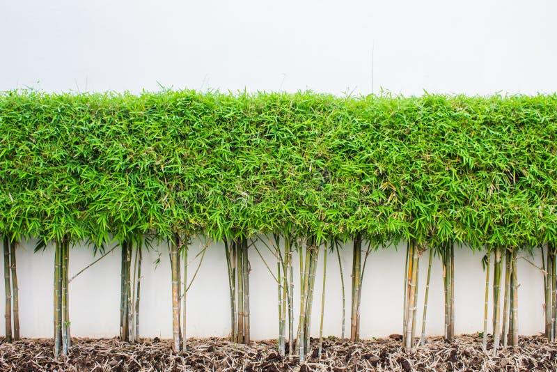 Bamboeinstallatie en de groene achtergrond van de grasmuur royalty-vrije stock foto's