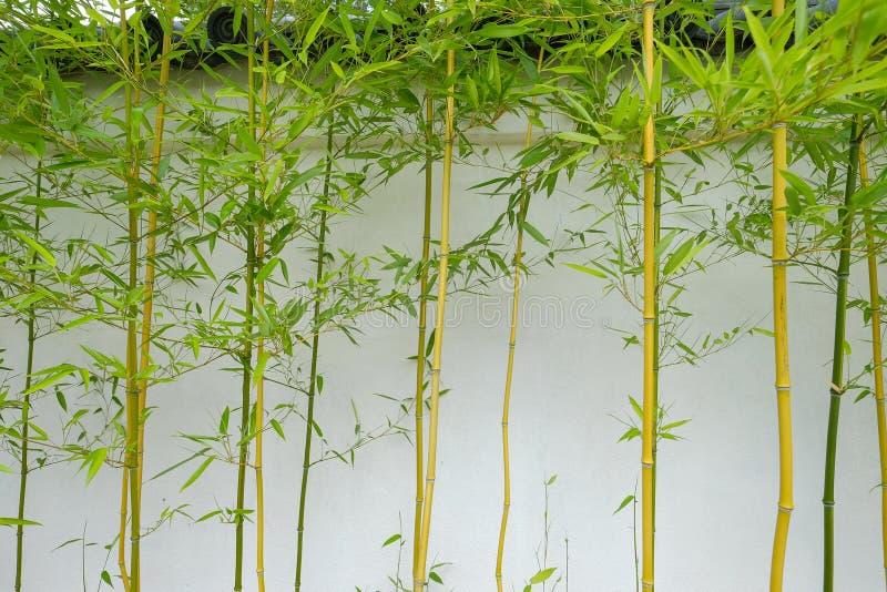Bamboespruiten die tegen de buitenmuur van een Japanse Thee groeien royalty-vrije stock foto's