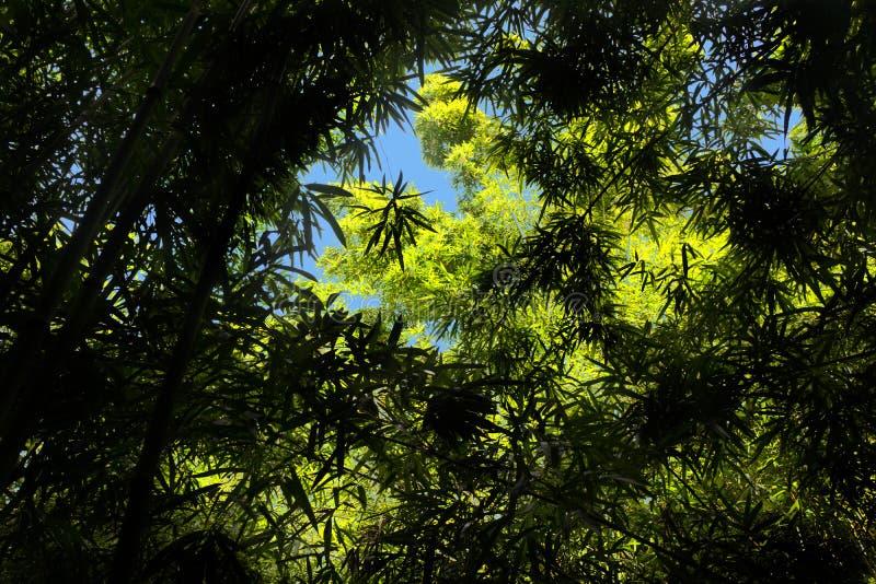 Bamboewildernis Forest Maui Hana stock afbeelding