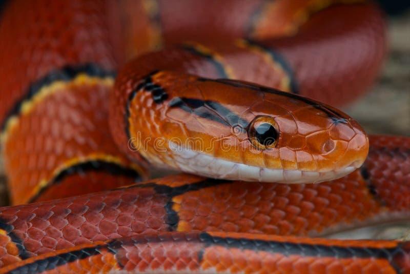 bamboo змейка красного цвета крысы стоковое фото rf