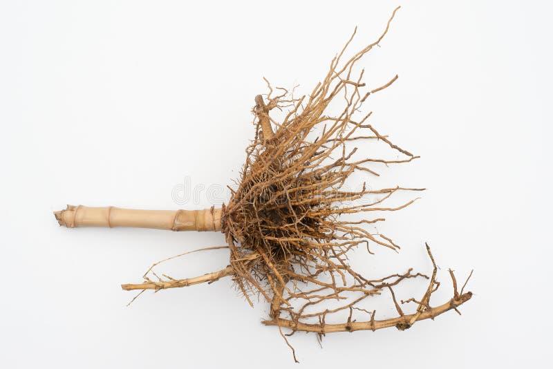 bamboo корень стоковое изображение