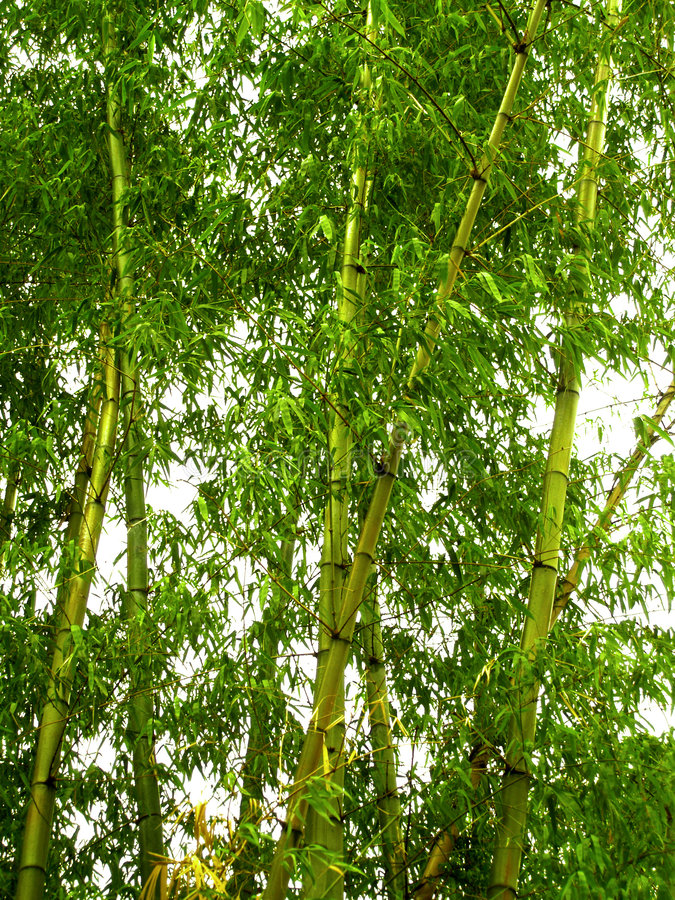 Bamboo 01 royalty free stock image