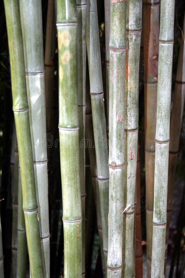Bamboo. Subtle colored bamboo background Forest royalty free stock photo
