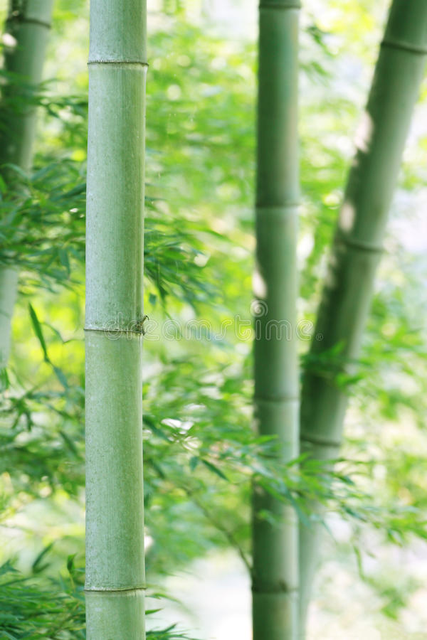 Bamboo. Abstract background of green bamboo royalty free stock image