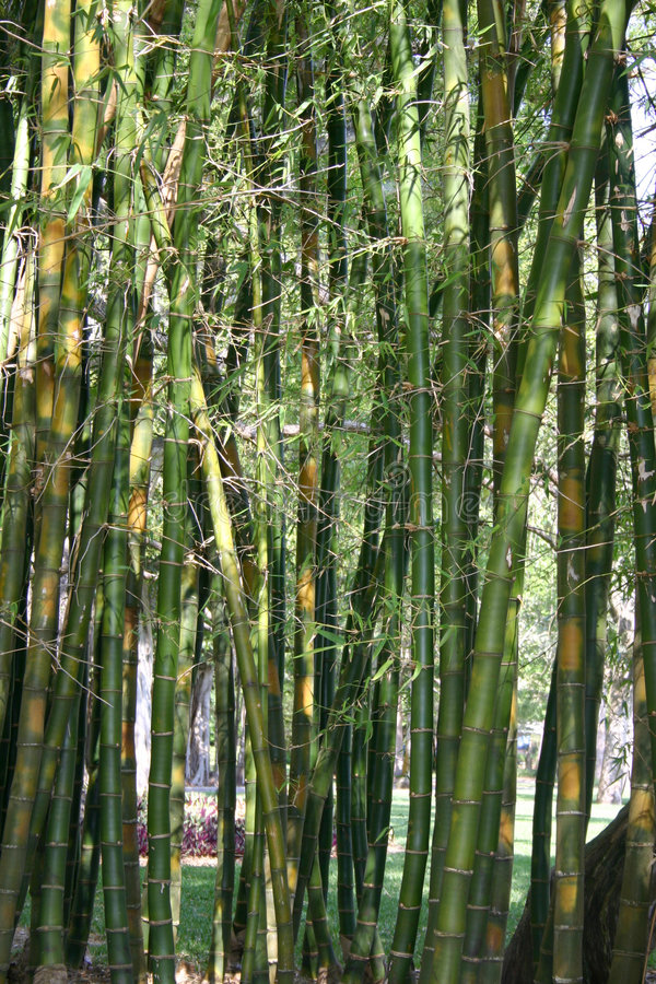 Bamboo. Dense growth of bamboo in tropical setting stock photo