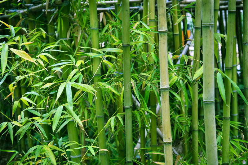 Bamboo. The bamboo of a forest outdoor in china royalty free stock image