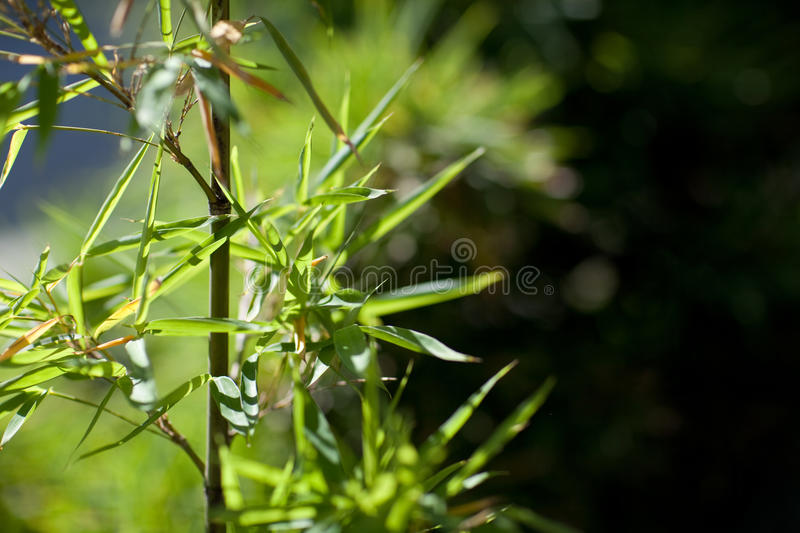 Bamboo Royalty Free Stock Images
