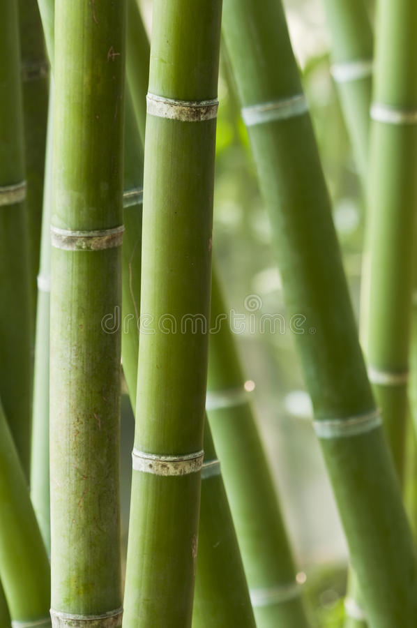 Bamboo. Close-up of a bamboo forest stock image