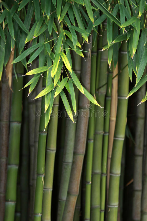 Free Bamboo Royalty Free Stock Images - 16409239