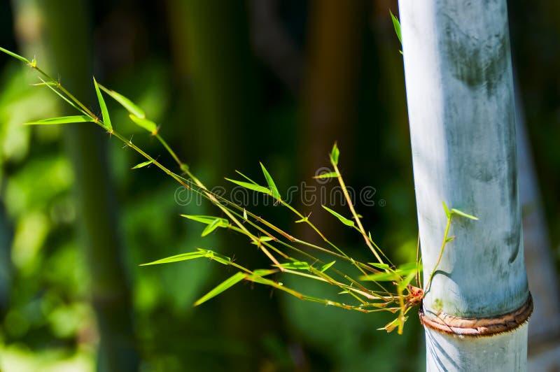 Bamboo. Fresh bamboo stalks isolated background royalty free stock photo