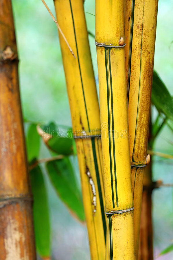 Bamboo. A bundle of yellow bamboo in garden royalty free stock photos