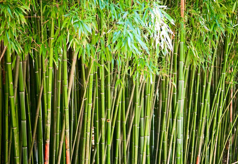 Download Bamboo Royalty Free Stock Photos - Image: 23369518