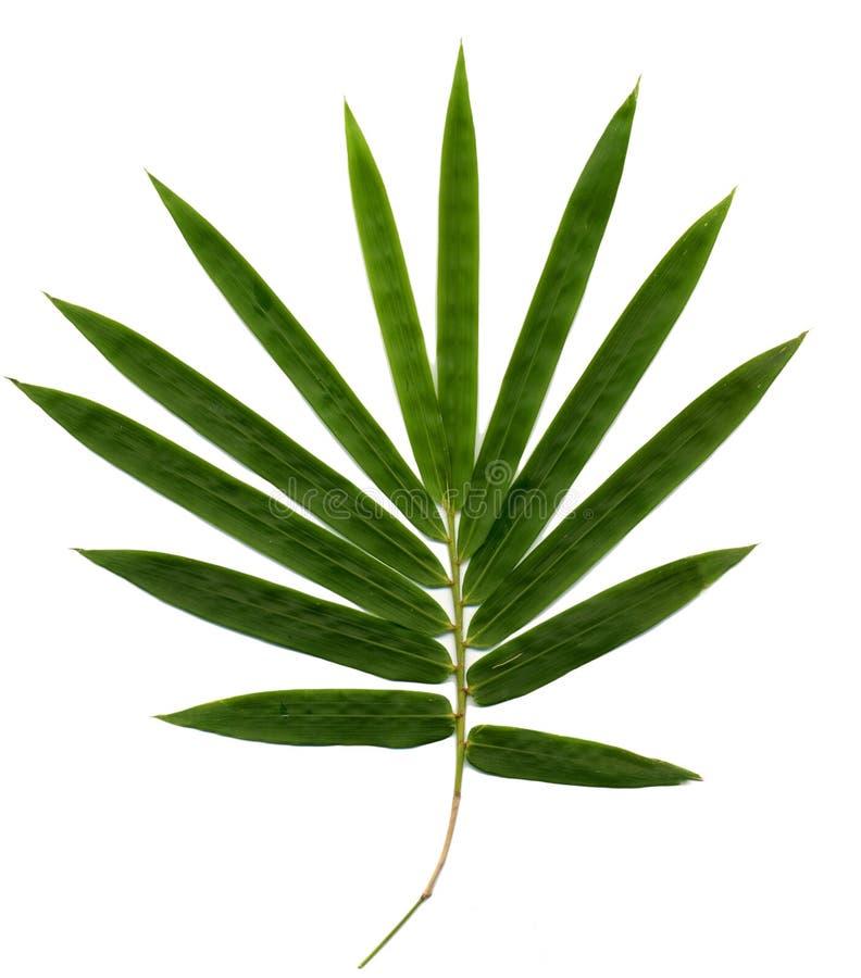 Bamboo. Isolated on white background royalty free stock photos