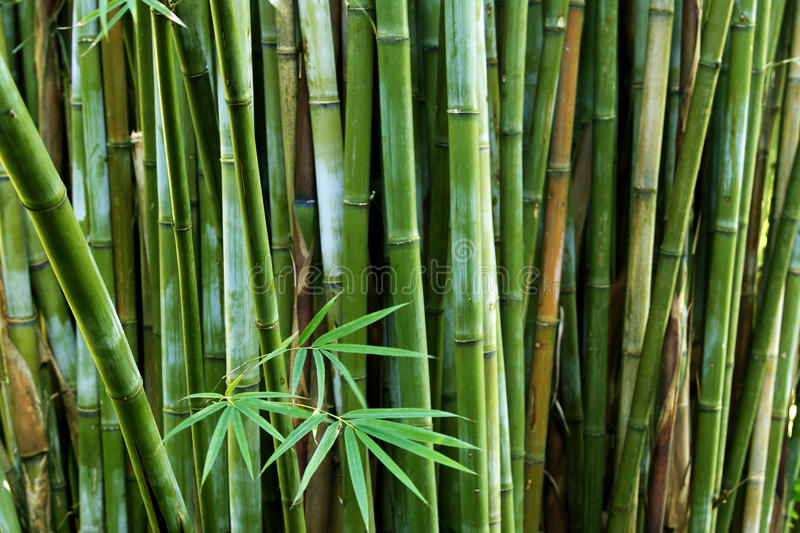 Bamboo. Stalks in tropical forest stock photos