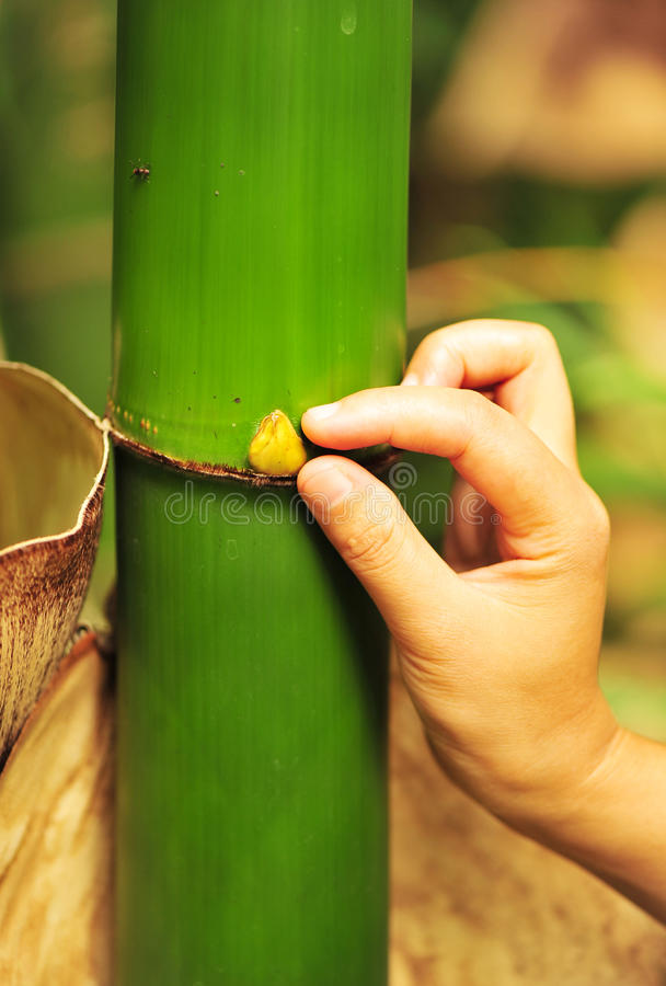 Download Bamboo stock photo. Image of hand, touch, bamboo, stern - 26620334