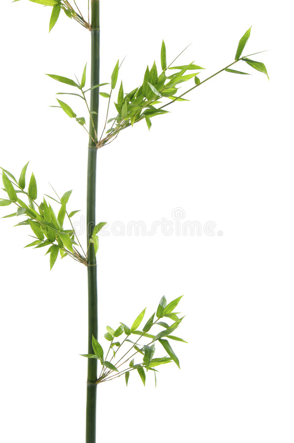 Bamboo. Stock with green leaf royalty free stock image