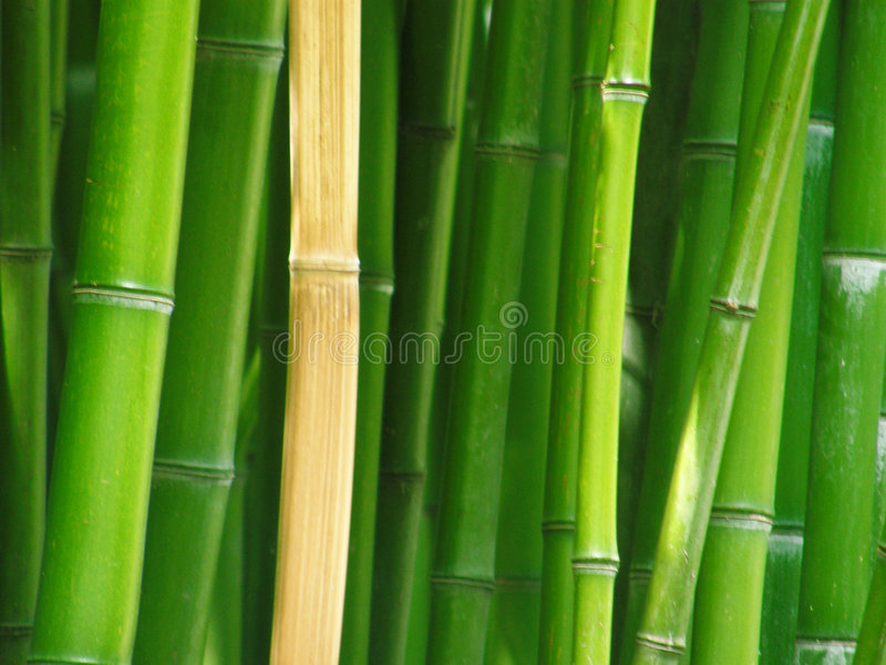 Download Bamboo stock photo. Image of growth, bamboo, background - 5133806