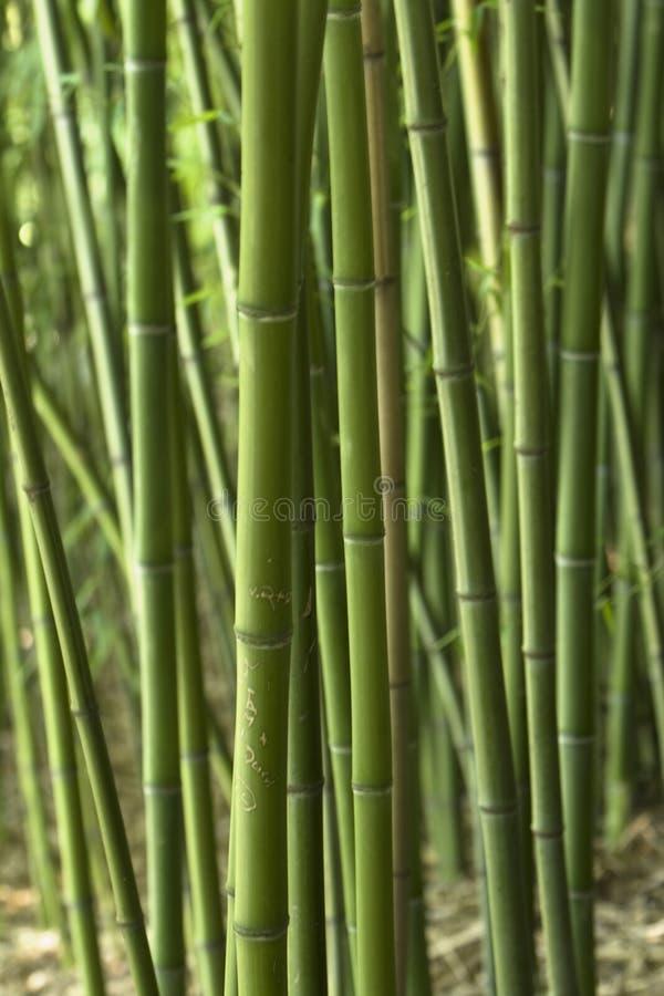 Download Bamboo Royalty Free Stock Image - Image: 6010316