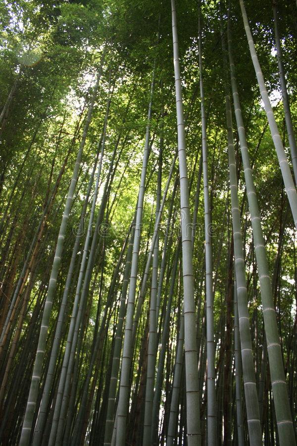Download Bamboo stock image. Image of humit, light, lost, forest - 6598659