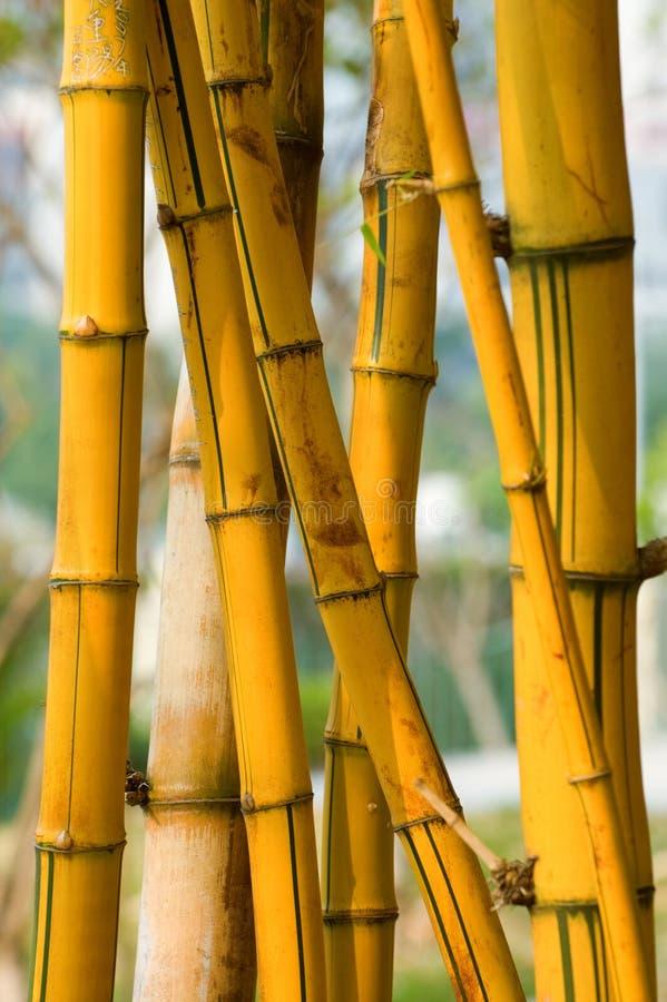 Bamboo. A bundle of yellow bamboo in garden stock photography
