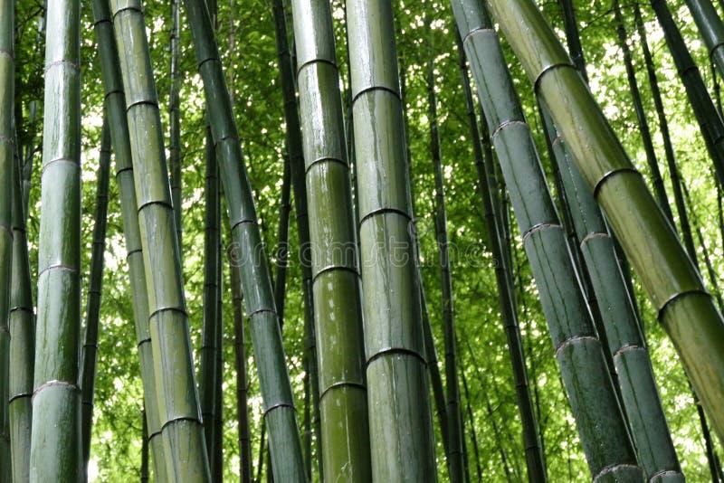 Bamboo in Arashiyama Bamboo Grove, Kyoto, Japan stock photography