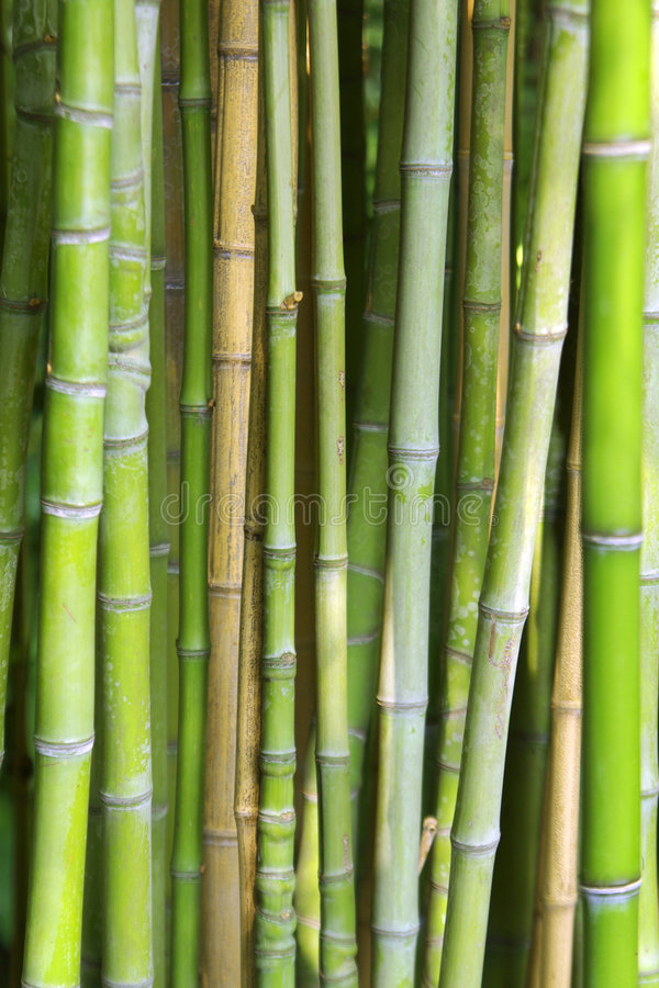 Bamboo Background. Close-up photo of background of green bamboo canes stock photos