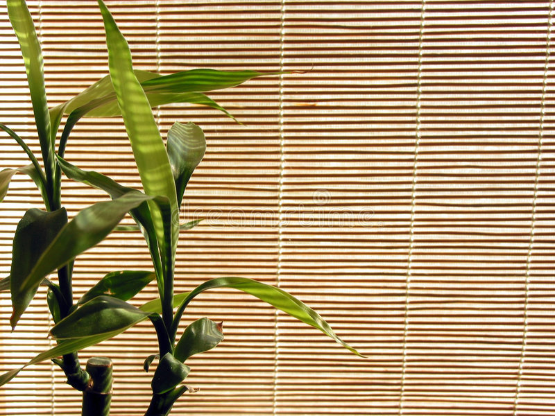 Bamboo background. Fresh green bamboo shoots on the background of bamboo blinds stock photography