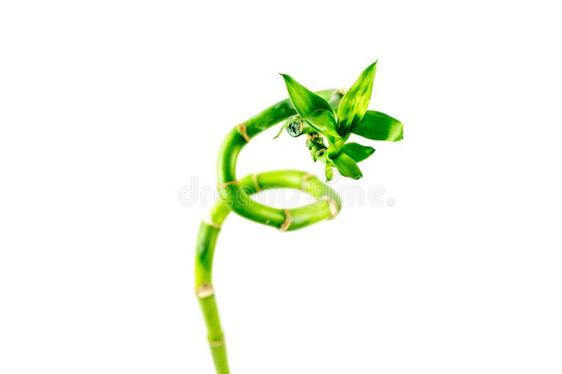 Bamboo branch on white background. Green lucky bamboo stems. Spa concept royalty free stock photography