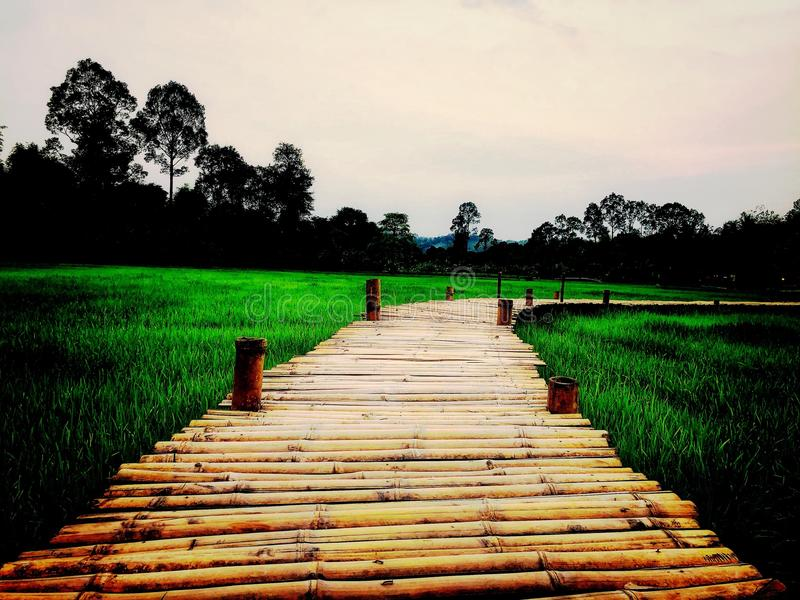 Bamboo bridge with rice fields and sunsets stock image