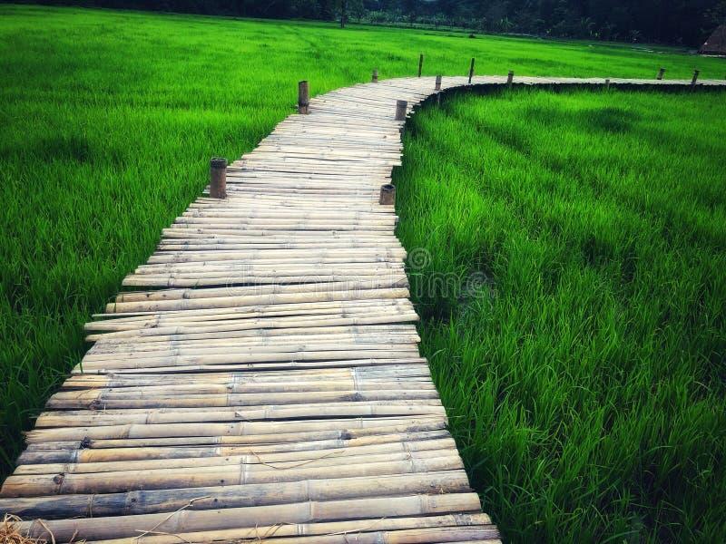 Bamboo bridge with rice nature stock photo