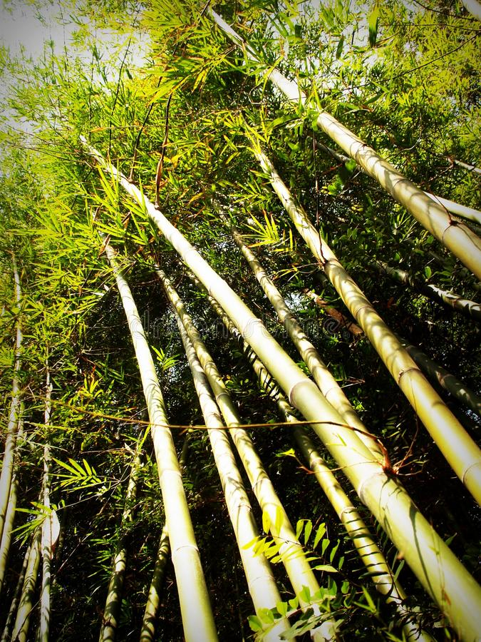 Bamboo, Bright, Color royalty free stock photography