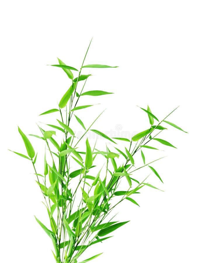 Bamboo bush. Green bamboo tree isolated on white background royalty free stock photo