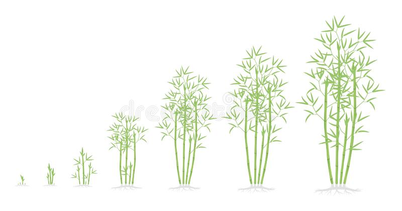 Bamboo bush growth stages. Clumping bamboos ripening period progression. Bambusa bambos tree life cycle animation plant phases. With roots. Green leaves. Flat royalty free illustration