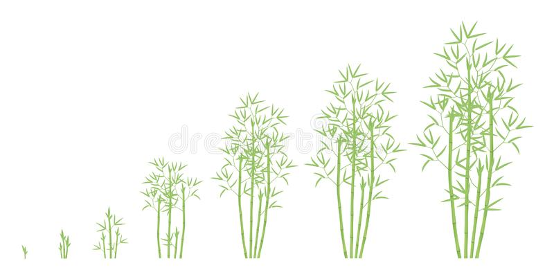 Bamboo bush growth stages. Clumping bamboos ripening period progression. Bambusa bambos tree life cycle animation plant phases. Green leaves. Flat vector stock illustration