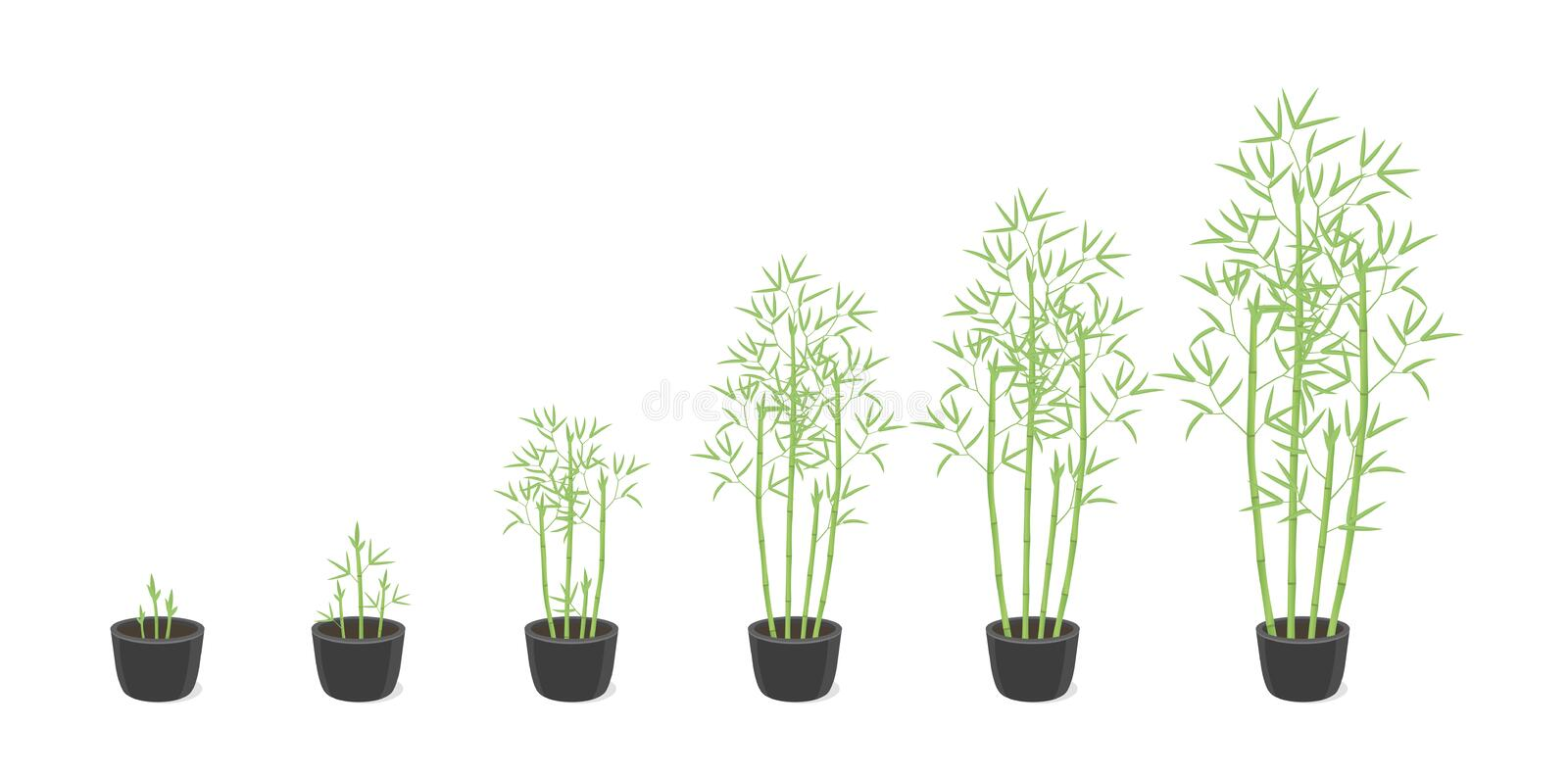 Bamboo bush potted growth stages. Clumping bamboos ripening period progression. Bambusa bambos tree life cycle animation plant. Phases. In a pot at home. Flat vector illustration